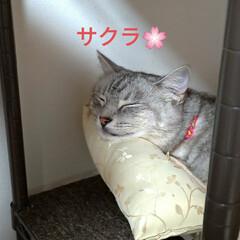 模様替え/頭隠して尻隠さず/棚移動/可愛い/ニャンコ同好会/猫との暮らし/... サクラ、顎のせして可愛いな~💕  移動し…(1枚目)