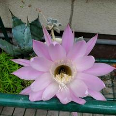 お願い/悲しい/地元サイト/子猫/野良猫/いたずら/... 昨日、放置サボちゃんの花が咲いてました✨…(1枚目)