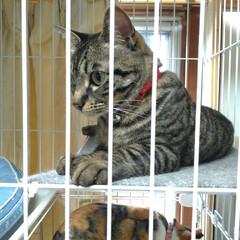 猫/可愛い/猫との暮らし/ニャンコ同好会/猫ケージ 掃除機したら テンが居ない と見渡したら…(7枚目)