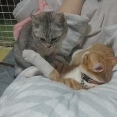 暖かい/ケツ枕/寝る/仲良し?/保護猫/サバトラ毛長/... 私のケツ  うつ伏せになって スマホつつ…(4枚目)