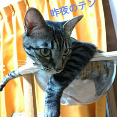 へそ天/腹だし/キャットタワー/宇宙船/キジトラ/猫との暮らし 今日も朝 変な格好のまま 頭だけ動かす🐱…(5枚目)