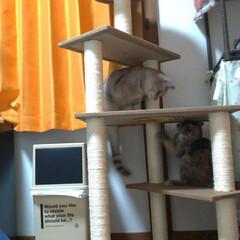 サビ猫/サバトラ/キジトラ/脱走/ニャンコ同好会/猫との暮らし/... メルカリで先日買ったキャットタワー テン…(8枚目)