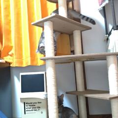 サビ猫/サバトラ/キジトラ/脱走/ニャンコ同好会/猫との暮らし/... メルカリで先日買ったキャットタワー テン…(4枚目)