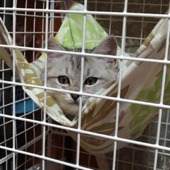 遊び/おもちゃ/避妊手術/茶トラ白/サバトラ毛長/強制慣れさせ中/... 保護猫サクラ 前に作ったハンモックを気に…