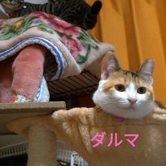 猫との暮らし/にゃんこ同好会/キジトラ/三毛猫/野良猫出身 コメント書く前にアップロードしてもうた …(6枚目)