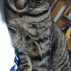 重い/抱っこちゃん/3匹/猫ケージ/ニャンコ同好会/ダイソー/... 長男テンちゃん抱っこ要求ちゃん😸 20分…