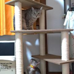 サビ猫/サバトラ/キジトラ/脱走/ニャンコ同好会/猫との暮らし/... メルカリで先日買ったキャットタワー テン…(3枚目)