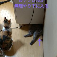 模様替え/頭隠して尻隠さず/棚移動/可愛い/ニャンコ同好会/猫との暮らし/... サクラ、顎のせして可愛いな~💕  移動し…(2枚目)