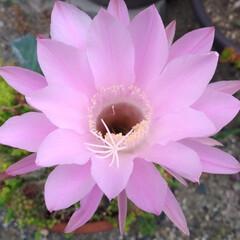 花が咲いた/キレイ/マツバギク/初めて/サボテンの花/多肉植物/... スズメが 餌がない~と チュンチュン言っ…