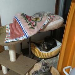 保護猫/サビ猫/サバトラ/キジトラ/寝床/猫のいる暮らし/... 3匹寝る😸  ケージ外では、チビチビは、…