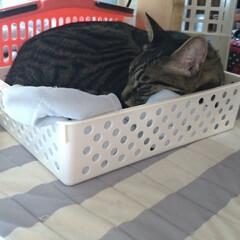 寝相/可愛い/寝る/ニャンコ同好会/猫との暮らし/猫 眠い猫衆🐱💤  もう少ししたら 起きて暴…(4枚目)