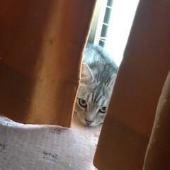 保護猫出身/キジトラ/サバトラ/可愛い/猫家族/ニャンコ同好会 サクラ からの~ テン💕😸   そろそろ…