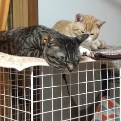 仲良し/保護猫/茶トラシロ/サバトラ/キジトラ/ハンドメイド/... ついに  つ~いに 先日メルカリで 一目…(2枚目)