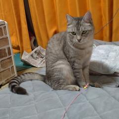 にゃんこ同好会/猫との暮らし/保護猫/キャットタワー/似合わない/不良品/... サクラの鈴付きゴム首輪作ってあげようと思…(3枚目)