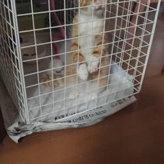 ケージ/治療中/噛む/トンネル/先住ネコ/キジトラ/... 保護猫茶トラ白ちゃんただ今治療中 テンち…(4枚目)