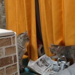 にゃんこ同好会/猫との暮らし/保護猫/キャットタワー/似合わない/不良品/... サクラの鈴付きゴム首輪作ってあげようと思…(7枚目)