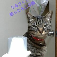 猫との暮らし/にゃんこ同好会/キジトラ/三毛猫/野良猫出身 コメント書く前にアップロードしてもうた …(2枚目)