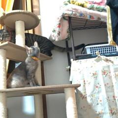 サビ猫/サバトラ/キジトラ/脱走/ニャンコ同好会/猫との暮らし/... メルカリで先日買ったキャットタワー テン…
