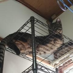 キジトラ/茶トラ白/保護猫/トイレ/洗い桶/二階建て/... 保護猫茶トラ白は、 一段のケージに入れる…(6枚目)