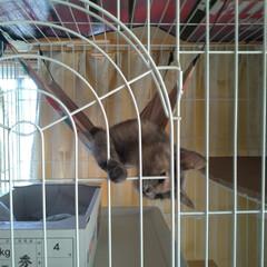 猫のいる暮らし/ケージ/保護猫/猫 ハンモックに 乗ってた😸  最後 ケージ…(2枚目)