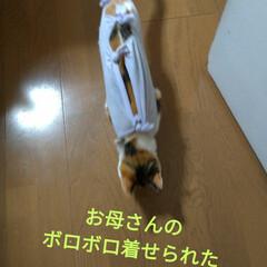 三毛猫/避妊手術/猫服/リメイク/タンクトップ/ボロボロ/... 発情姫 モモ😼  手術着年末に購入してた…(8枚目)