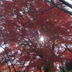 紅葉/風景 今年 実物で見た紅葉🍁🍂きれいだった~お…(1枚目)