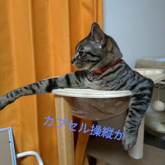 へそ天/腹だし/キャットタワー/宇宙船/キジトラ/猫との暮らし 今日も朝 変な格好のまま 頭だけ動かす🐱…(7枚目)