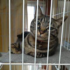 猫/可愛い/猫との暮らし/ニャンコ同好会/猫ケージ 掃除機したら テンが居ない と見渡したら…(1枚目)