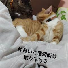 里親/茶トラ白/キジトラ/シャム猫/捕獲猫/保護猫 1枚目は 先日近所の畑のおじさんから 親…(3枚目)