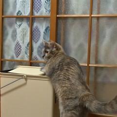 サビ猫/猫根性/粘り強い/蚊/ゴミ箱/猫との暮らし/... 夕方 宅配を取りに出て 蚊が多いので 入…(1枚目)