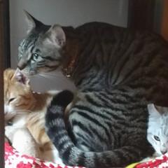 仲良し/保護猫/茶トラシロ/サバトラ/キジトラ/ハンドメイド/... ついに  つ~いに 先日メルカリで 一目…(6枚目)