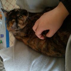 サビ猫/避妊手術済み/捕獲保護猫/野良猫/ニャンコ同好会/猫との暮らし/... 捕まった野良猫ボボちゃん あれから何日……