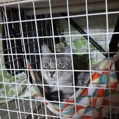 かわいい/ダイソー/ニャンコ同好会/ニャンモック/猫/節約/... 昨夜のサクラは 寝る前のダイソーケージに…