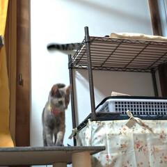 ありがとう/ニャンコ同好会/猫のいる暮らし/片付け/テレビ/付添い/... チビチビちゃん テンのシッポで 遊んで貰…(5枚目)