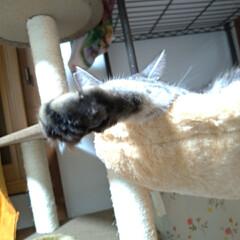 毛繕い/うたた寝/サビ/キジトラ/サバトラ/猫との暮らし/... サクラ~カワイイ😍  チビチビ 私の腹の…(2枚目)