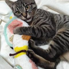保護猫/キジトラ/風邪/ペット/猫/にゃんこ同好会 風邪ひいたので  テンちゃんと布団で遊ぶ…(1枚目)