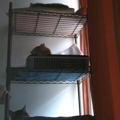 昼寝/猫/多頭飼い/ニャンコ同好会/梅雨/暮らし/... 爆睡サクラ💤💤と  狭い中 オス同士で …(4枚目)