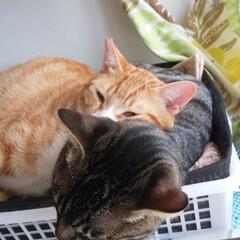 サバトラ/キジトラ/茶トラ白/保護猫/仲良し/寝姿/... 3匹の寝姿☺️  色々だな~😸💕(3枚目)