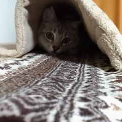 サバトラ/猫ケージ/隠れんぼ/ニャンコ同好会/ダイソー/100均/... 猫ケージ上の 猫衆が外を見る場所の 敷物…