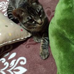 遊び/キジトラ/LIMIAペット同好会/ペット/猫/にゃんこ同好会/... テンちゃん今日は 良く寝てたな😅 遊べと…