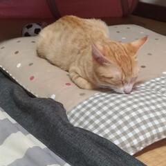 ケージ/治療中/噛む/トンネル/先住ネコ/キジトラ/... 保護猫茶トラ白ちゃんただ今治療中 テンち…