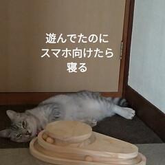 猫オモチャ/猫との暮らし/キャットタワー合体/キャットタワー部品/爪とぎ/キャットタワー/... オモチャで密かに遊んでたサクラに カメラ…(1枚目)