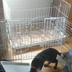 耳ダニ/顔合わせ/バケツ風呂/猫シャワー/ケージ組み立て/スリスリ/... 今回の子猫の ダイソーワイヤーネット簡易…(4枚目)
