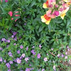 挿し木/アジサイ/スナックエンドウ/アスパラ/ミニ畑/花壇/... 花が綺麗になってきた🌼🌿  2本目のアス…(2枚目)