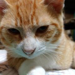可愛い/毛繕い/保護猫/仲良し/キジトラ/茶トラシロ/... 一昨日夜、珍しくテンちゃんが 保護猫ちゃ…