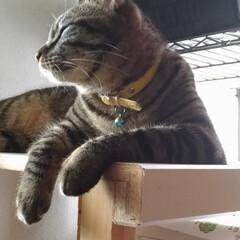 台風後/トマト/キジトラ白/保護猫/キジトラ/令和の一枚/... 台風過ぎて やっと窓を少し開け 風を感じ…
