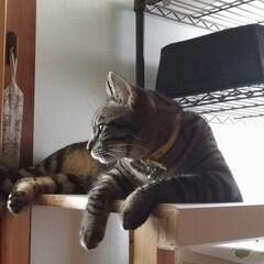 台風後/トマト/キジトラ白/保護猫/キジトラ/令和の一枚/... 台風過ぎて やっと窓を少し開け 風を感じ…(2枚目)