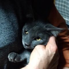 広島/兵庫/ありがとう/里親さん/遠くから/命/... 母の所の保護猫グレーちゃん 里親探しジモ…