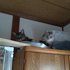 可愛い/猫との暮らし/ニャンコ同好会/保護猫/サビ/サバトラ/... テン&サクラの 久々のツーショット😸💕 …