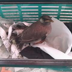 キジトラ/保護鳥/餌やり/ムクドリ/令和の一枚/LIMIAペット同好会/... 鳥さん 生きてました🐦️  今朝は 餌や…(1枚目)